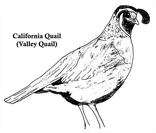Real-California-Valley-Quail-Coloring-Page