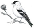The Top 8 American Goldfinch Coloring Pages