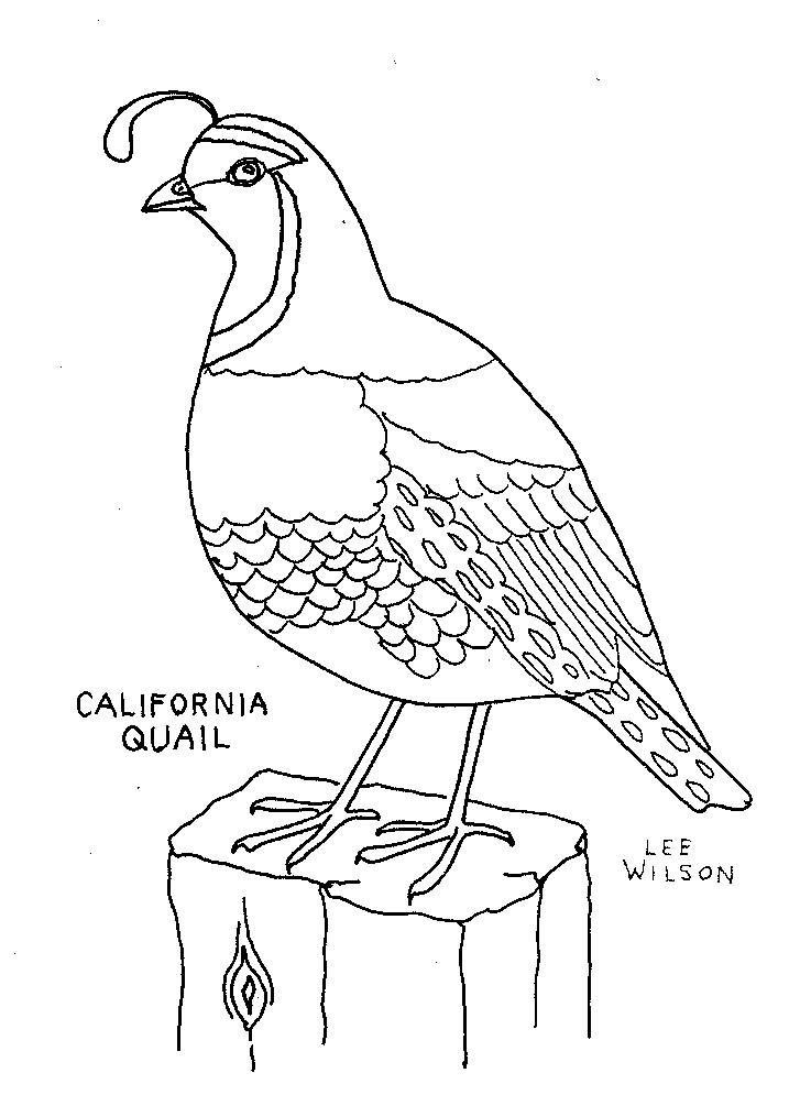 california-quail-coloring-picture