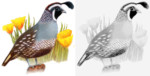 Top 9 California Quail Bird Coloring Pages