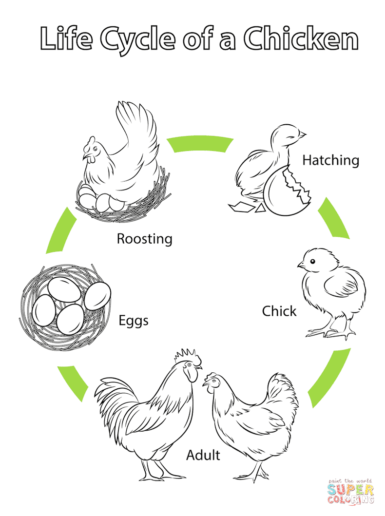 chicken-life-cycle-coloring-and-drawing