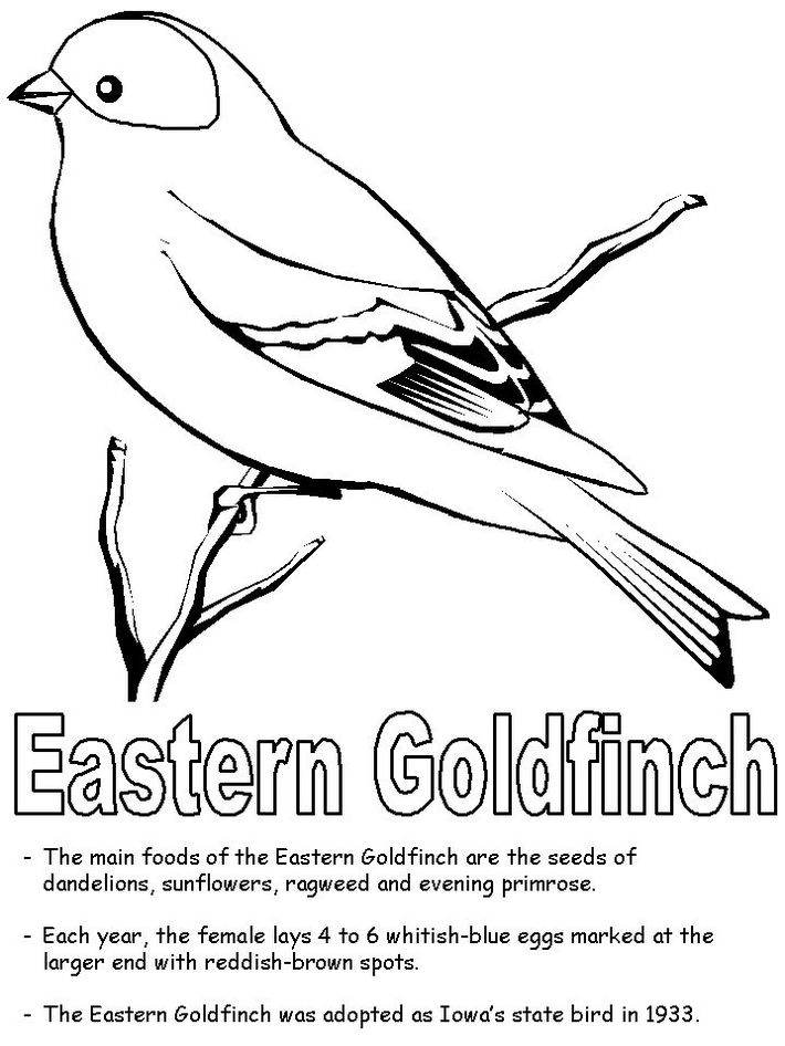 eastern-american-goldfinch-coloring-page