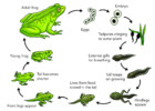 Learn Science Through Frog Life Cycle Coloring Pages