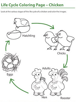 life-cycle-of-chicken-worksheet