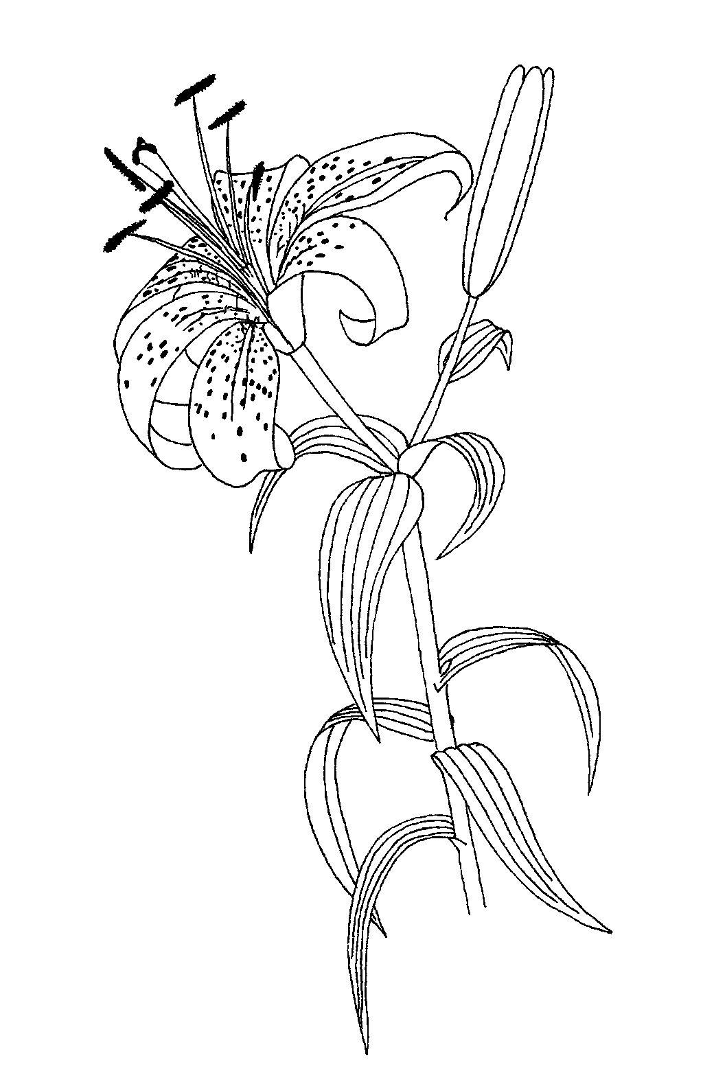 Lilium sp coloring sheet