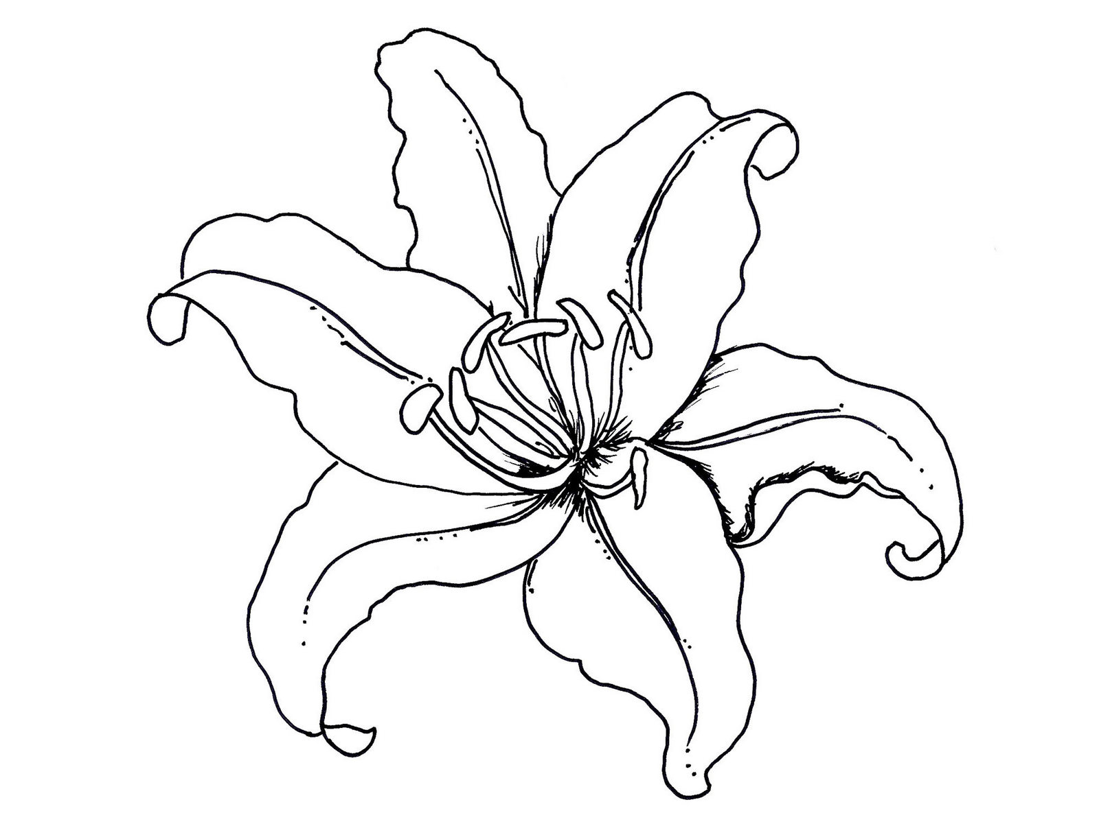 Lily flower coloring book