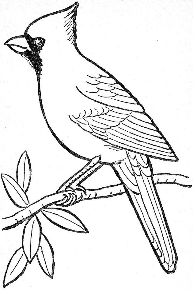cardinal on a branch coloring picture