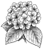 Hydrangea Flower Coloring Pages for Girls