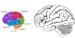the Human Brain Coloring Pages for Students