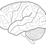 brain for biology science coloring sheet