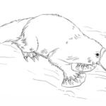 fantastic realistic platypus coloring page