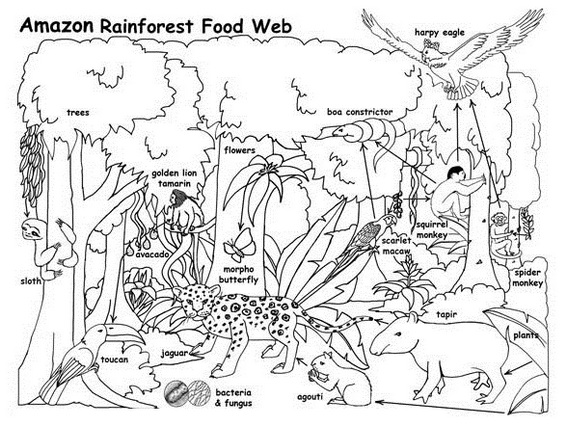 Amazon rain forest food web coloring activity page for Food web coloring pages