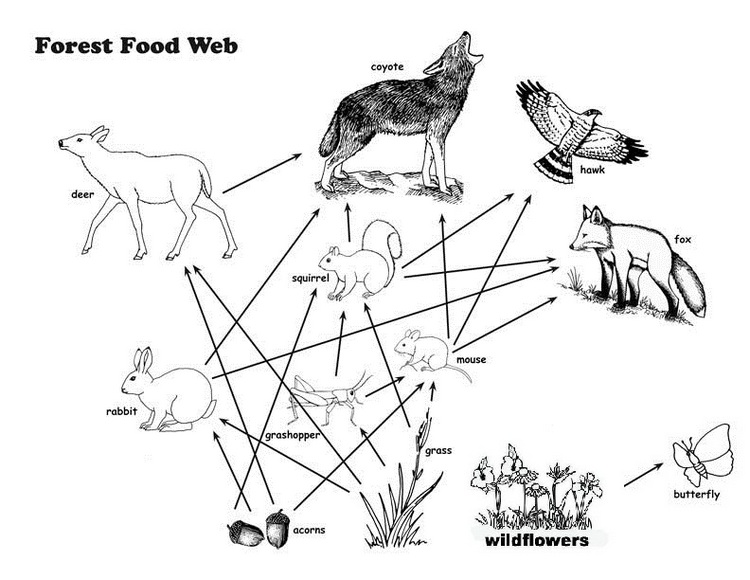 Forest food web coloring page for Food web coloring pages