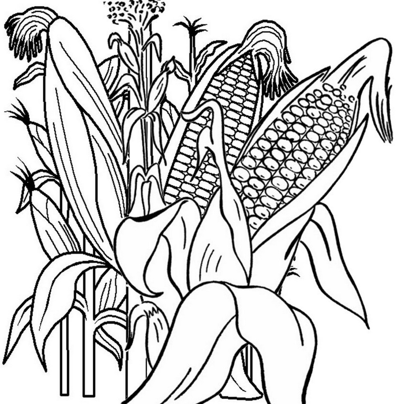 Corn Growth Cycle Coloring Page