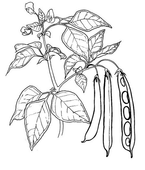 peas vegetable coloring page