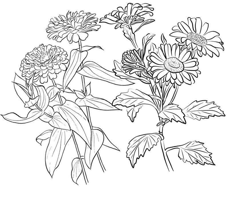 Beautiful Flower of Zinnia Coloring Page