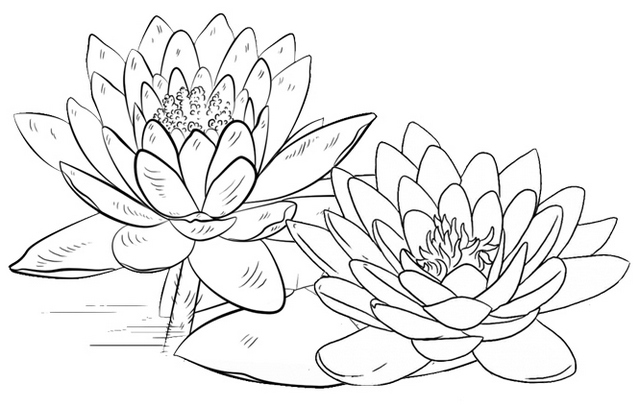 Beautiful Lotus Flowers Blooming Coloring Page