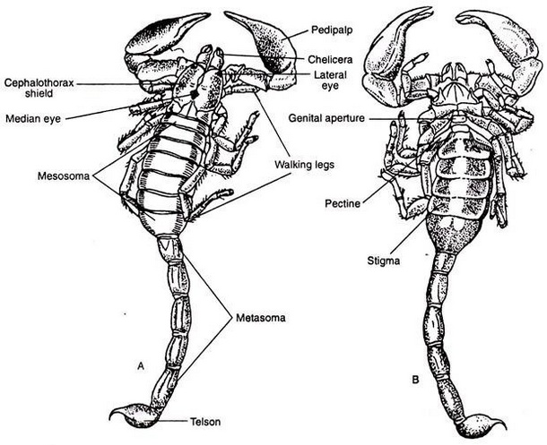Scorpion Anatomy Drawing Picture