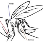 body segments of mosquito drawing page