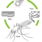 mosquito life cycle drawing page