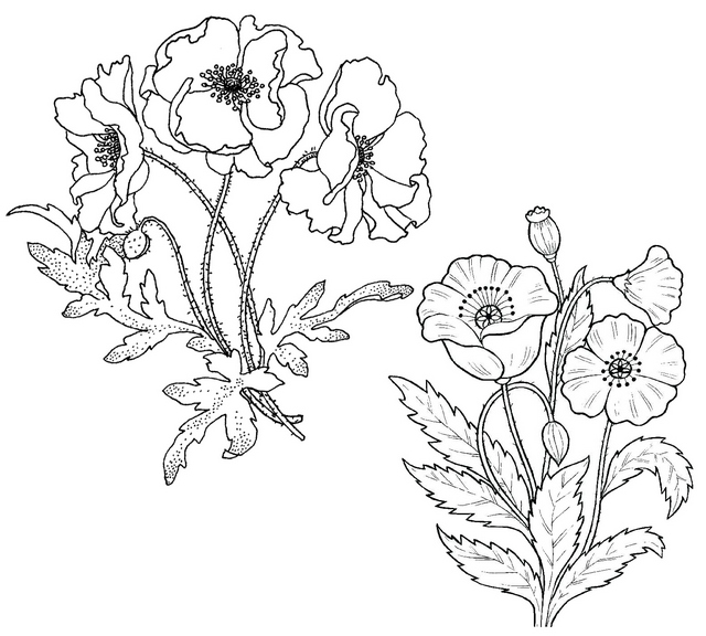 botanical poppy flowers coloring page