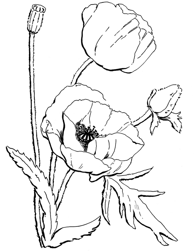poppy flower california coloring page