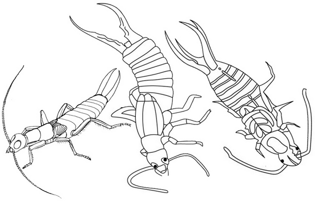 three earwigs insect coloring page