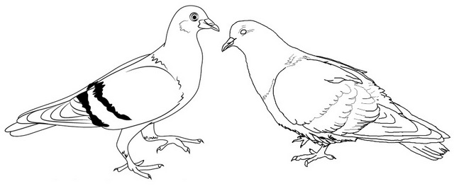 pigeon couple coloring page