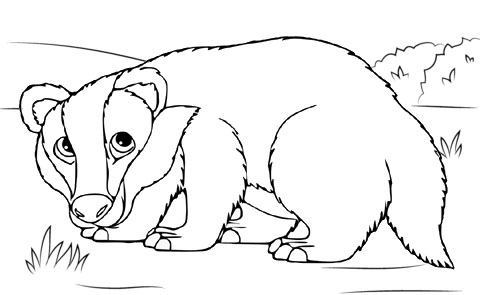 Badger Animal Draw Coloring Page