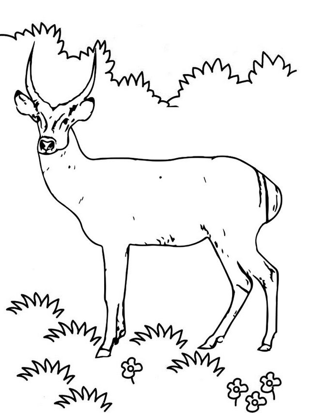 Real Antelope Coloring Page