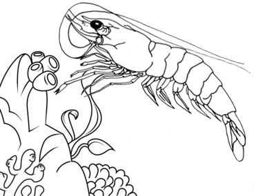 shrimp with coral reefs coloring page for kids