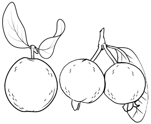 Guava Tropical Fruit Coloring Ideas